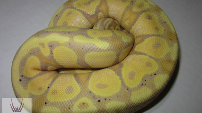 Banana Enchi Cinnamon Pastel