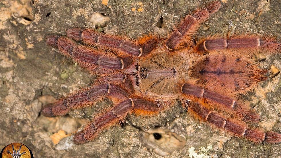 Phormingochilus sp. 'Rufus'