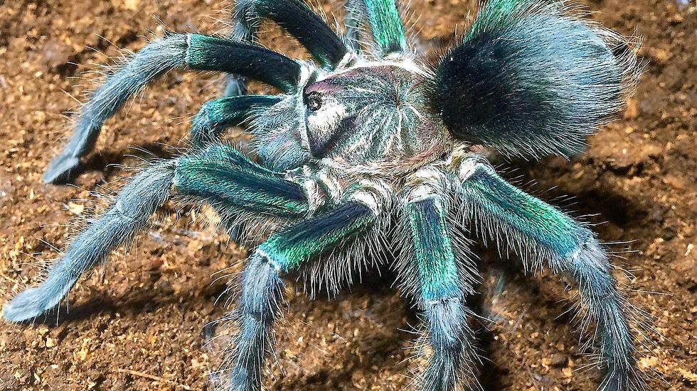 Phormictopus sp. 'Green'