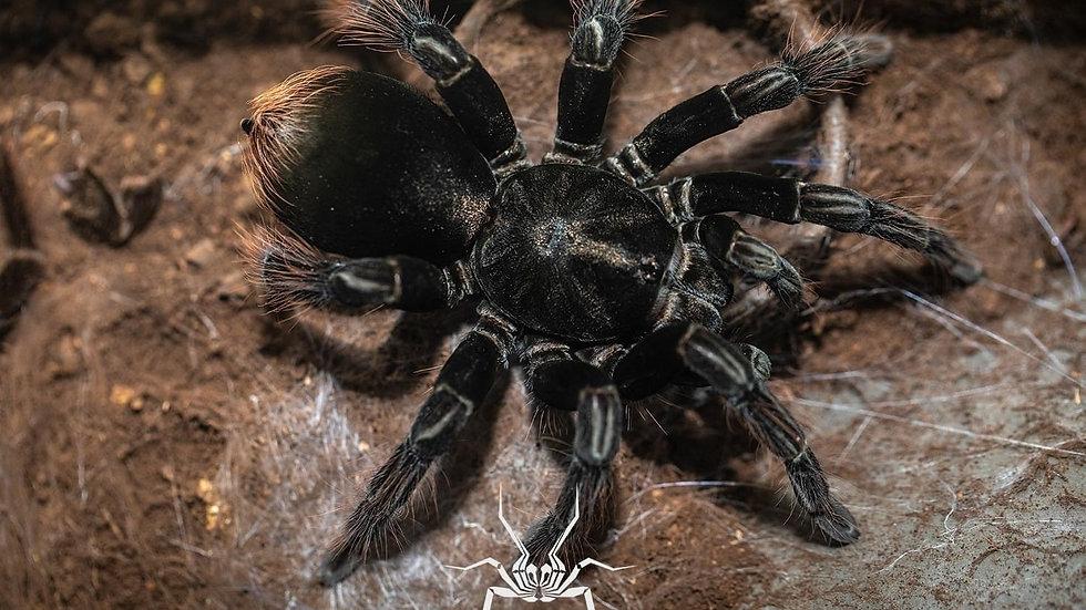 Pamphobeteus sp. 'Araña pollito' (Chicken spider)