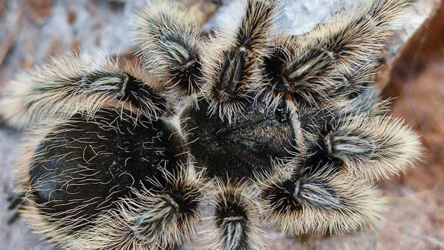 Tliltocatl albopilosus