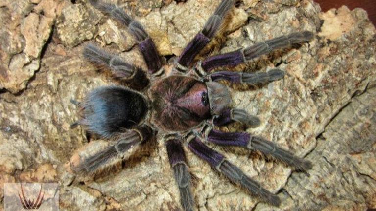 Phormictopus sp. 'Dominican Purple'