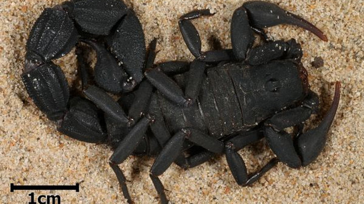 Parabuthus capensis black
