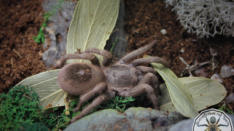 Theraphosidae sp Villa Tunari