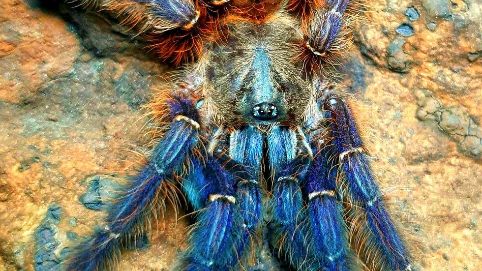 Phormingohilus sp. SABAH BLUE
