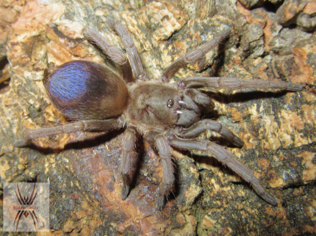 Pseudhapalopus sp. blue