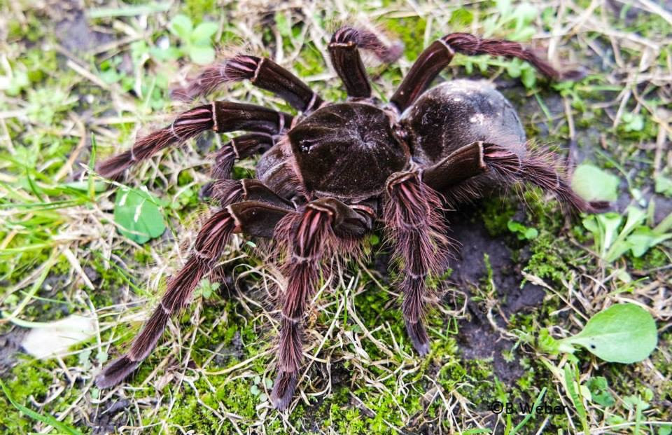 1.0 Theraphosa blondi