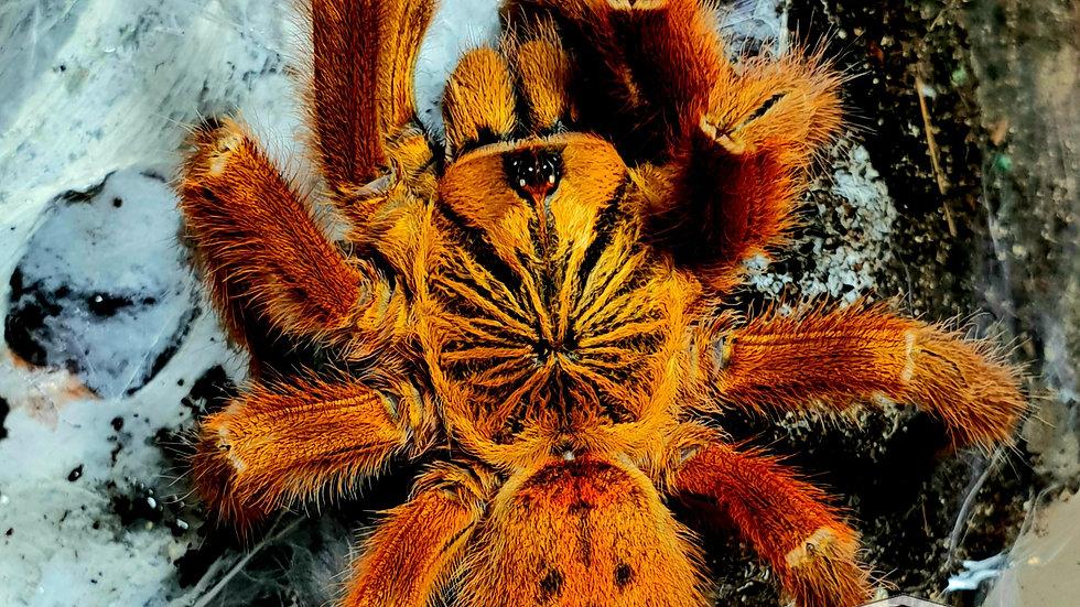 Pterinochilus murinus 'RCF'