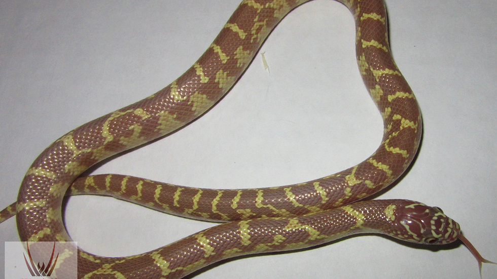 Lavender King Snake
