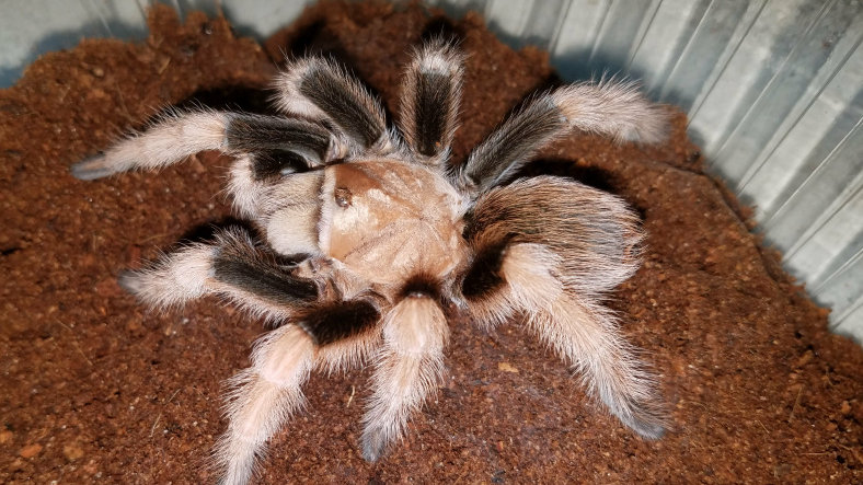 Aphonopelma chalcodes 'New River'