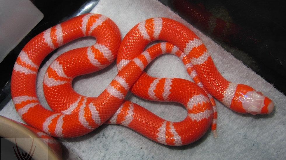 Albino Tangerine Honduran Milk Snake