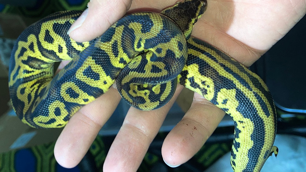 Pastel Yellow Belly Leopard
