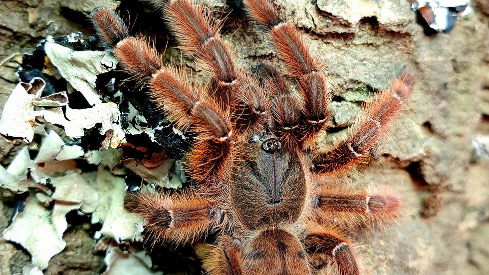 Phormingohilus sp rufus