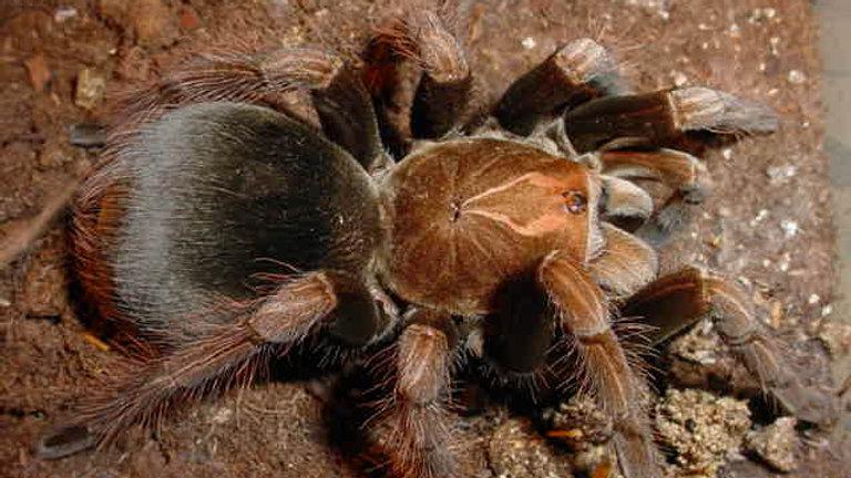 Pamphobeteus platyomma
