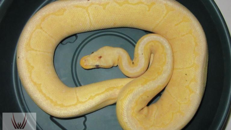 Banana Pewterblast Genetic Stripe