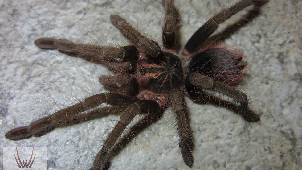Pamphobeteus sp. 'Hexa'