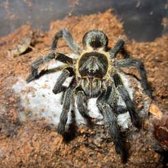 Harpactira sp. golden black