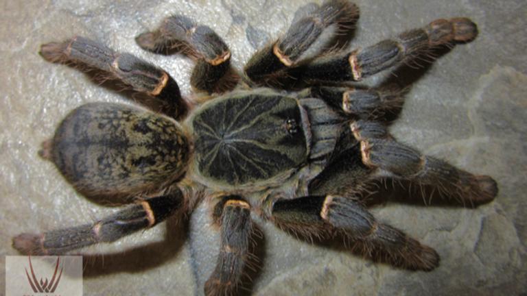 Pterinochilus chordatus 'mastov'