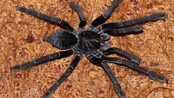 Phormingochilus carpenteri