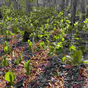 Small plants that look like cabbage growing on a forest floor