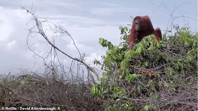 An orangutang sits atop the last tree in a forest that was destroyed to plant palm oil trees.