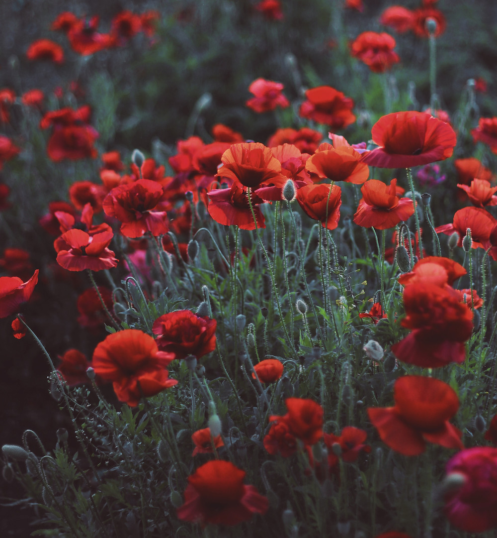 Red flowers in a meadow