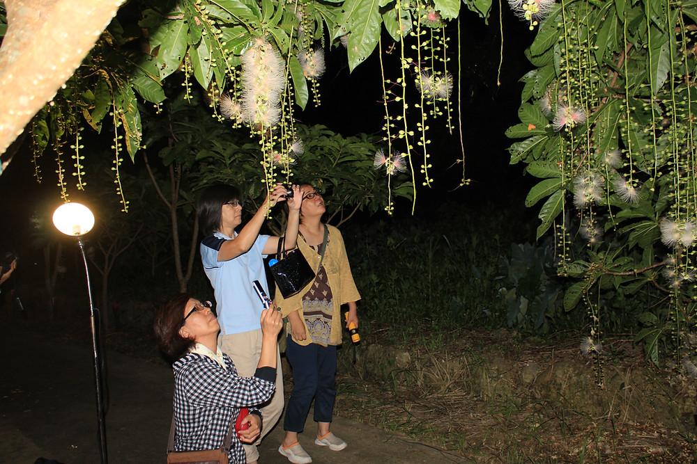 サガリバナ夜のお花見