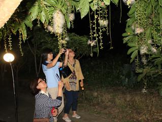 添道サガリバナ夜のお花見