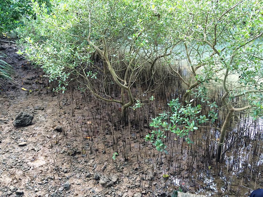 川満のヒルギダマシ