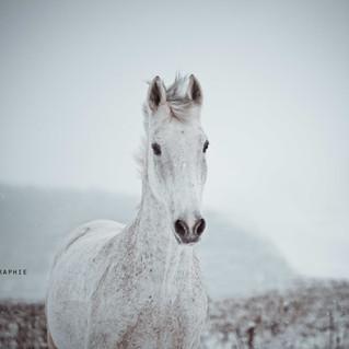 Ferdinand - Snow Horse