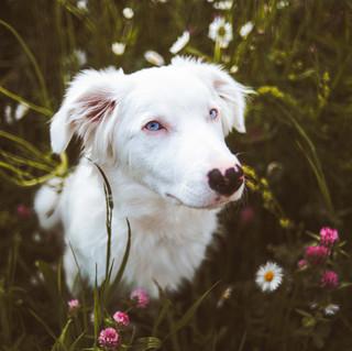 Elsa - Australian Shepherd