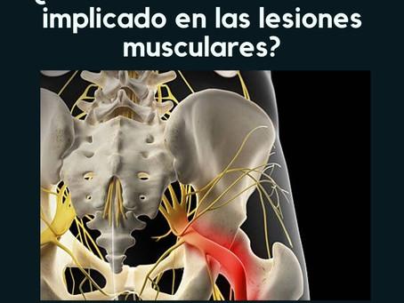 ¿Está el sistema nervioso implicado en la recaída en lesiones musculares?