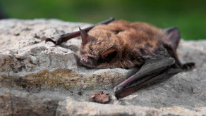 Infected bat 'ran into' hand of B.C. man who later died from rabies: health officer
