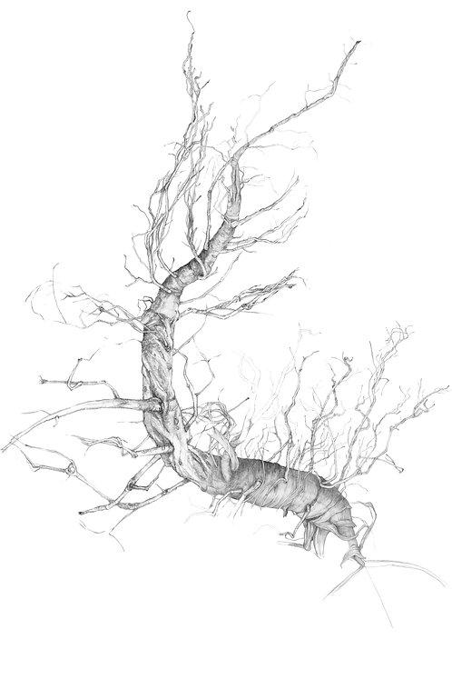 Tap Root Study