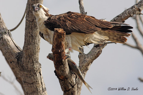 osprey-with-fish_12251796476_o.jpg