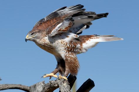 Ferruginous Hawk, Tucson, AZ