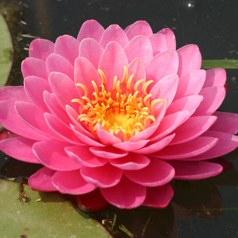 Perry's Fire Opal Water Lily