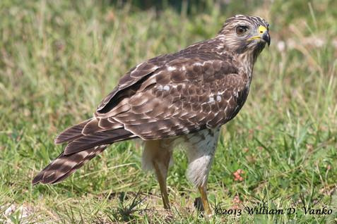 red-shouldered-hawk_11424851923_o.jpg