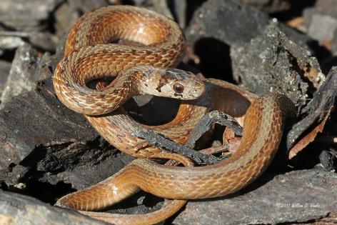 Brown Snake (Storeria dekayii)