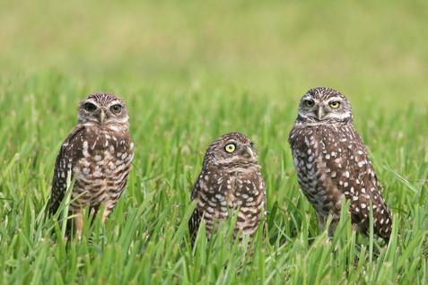burrowing--owls_10771756486_o.jpg