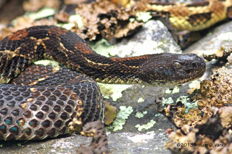 Timber Rattlesnake (dark phase)