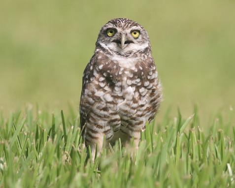 burrowing--owl--img_8655_10771817054_o.jpg