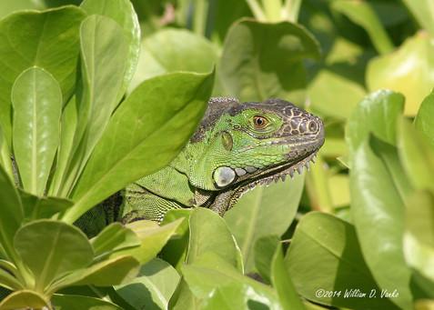 iguana-in-the-leaves_15631215723_o.jpg