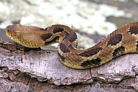 Timber Rattlesnake (light phase)