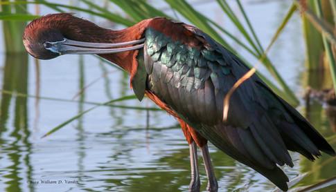 Glossy Ibis, Melbourne, FL