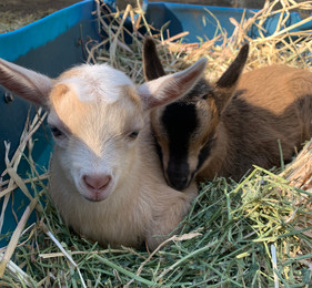 Mojo Mini Goats
