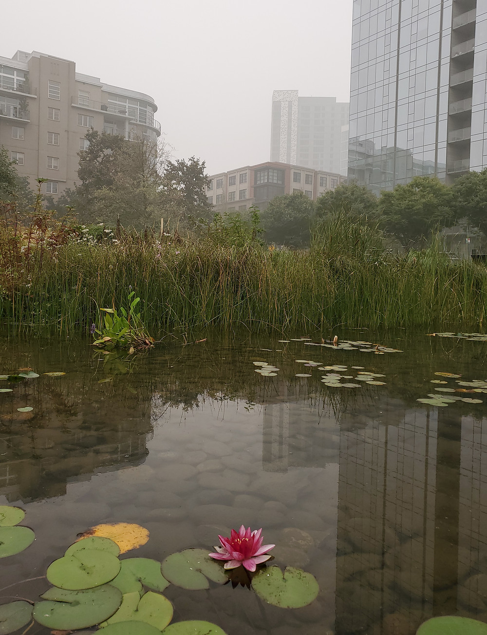 A lotus blooms at Tanner Springs, contrasting against the toxic smoke-filled air.