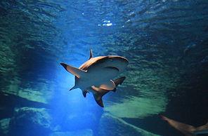 requin .jpg