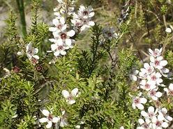 manuka flower.JPG
