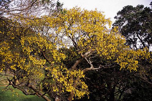 Kowhai, Sophora microphylla